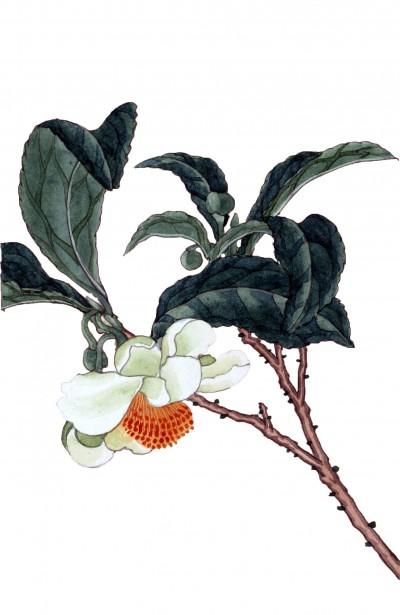 tea-tree-blossom-and-leaves